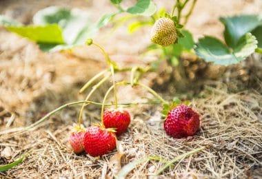 fraise potager
