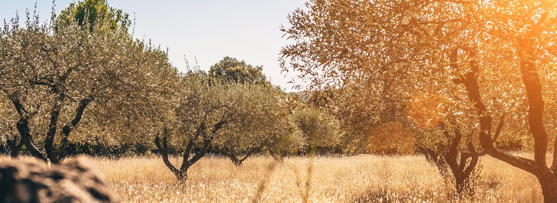 soleil champ olivier
